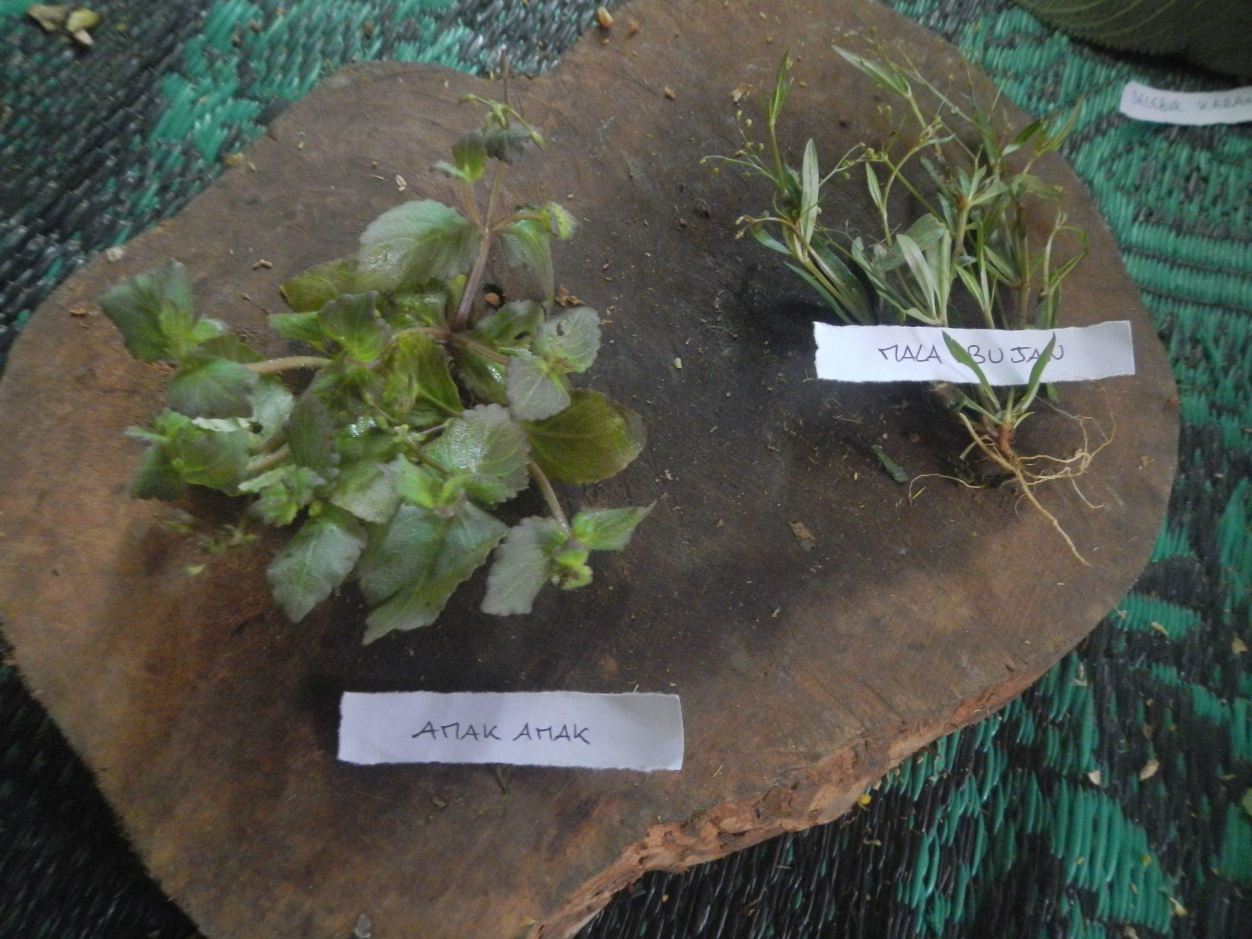 Valorisation des remèdes ancestraux et production de plantes médicinales
