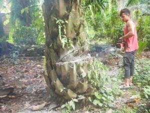 DSCN0024 poton sawit tronco