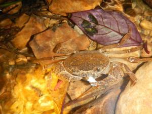 AquaCrab