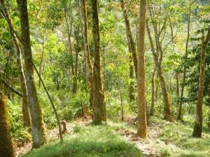 Sentier typique de plantation d'hévéas