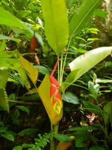 Heliconia Plant