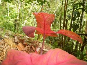 Caladium rouge