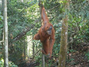 Orang outan (pongo abelii)